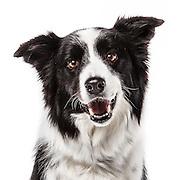20130426 Huskies, Bulldogs, Border Collies, Chow