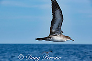 pink-footed shearwater, Ardenna creatopus or Puffinus creatopus, flying offshore from southern Costa Rica, Central America ( Eastern Pacific Ocean )