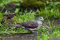 Barred Cuckoo Dove, Macropygia unchall, sitting on ground in Baihualing, Gaoligongshan, Yunnan, China