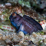 Pictured here is a pair of red-spotted blennies (Blenniella chrysospilos). The dark male was actually fertilizing eggs in the burrow beneath him. There was already a female in the burrow. While that female was depositing eggs, the male maintained this dark courtship coloration and displayed for the female seen here. The male was successful in getting the attention of this female, as evidenced by her visit to his burrow, but he was unable to accommodate her at the time documented here. It is possible that this female returned later, once the other female had finished depositing eggs.