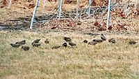 European Starling (Sturnus vulgaris). Image taken with a Nikon D5 camera and 600 mm f/4 VR lens.