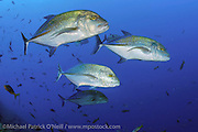 Blue Spotted Trevally, Caranx melampygus, patrol the deep waters of the Revillagigedo Archipelago roughly 220 miles from Cabo San Lucas, Mexico.