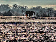 Horses graze in a field at dawn,  in Memphis, Tennessee at Shelby Farms, one of the largest urban parks in America and a favorite place for tourists visiting Memphis.