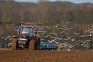 Black-headed Gulls, Chroicocephalus ridibundus with a few Common Gulls, Larus canus following plough and harrow, winter.