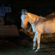 A white horse. On the edge of the city, horses are kept under highway bridges at night while their owner sleeps nearby. The horses are used to pull horse carriage for tourists during the day.