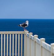 Seagull Sitting On A Fence In Laguna Beach California