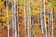 autumn aspen (Populus tremuloides) at Conboy Lake National Wildlife Refuge)