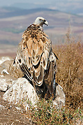 The Griffon Vulture is an Old World vulture in the family Accipitridae, which also includes eagles, kites, buzzards and hawks. With its 6 to 10 kg weight, a height of 95 to 110 cm and a span that can reach 280 cm this bird is an impressive view.