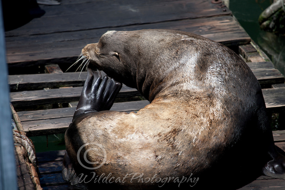 Sea lion on dock at Newport, scratching an itch