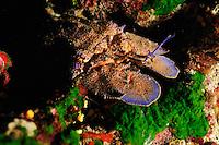 European Paddle-nosed Lobster (Scyllarides latus), Gozo, Maltese Islands