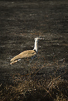 A Kori Bustard on scorched grassland in the Ngorongoro Crater, Tanzania