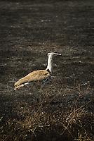 A Kori Bustard on scorched grassland in the Ngorongoro Crater, Tanzania