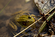 Portrait of a frog resting in a pond.