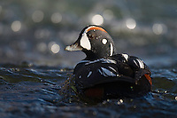 26.05.2008.Harlequin duck (Histrionicus histrionicus) male.Laxa River, Mývatn, Iceland