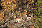 Two Pronghorns in fall habitat