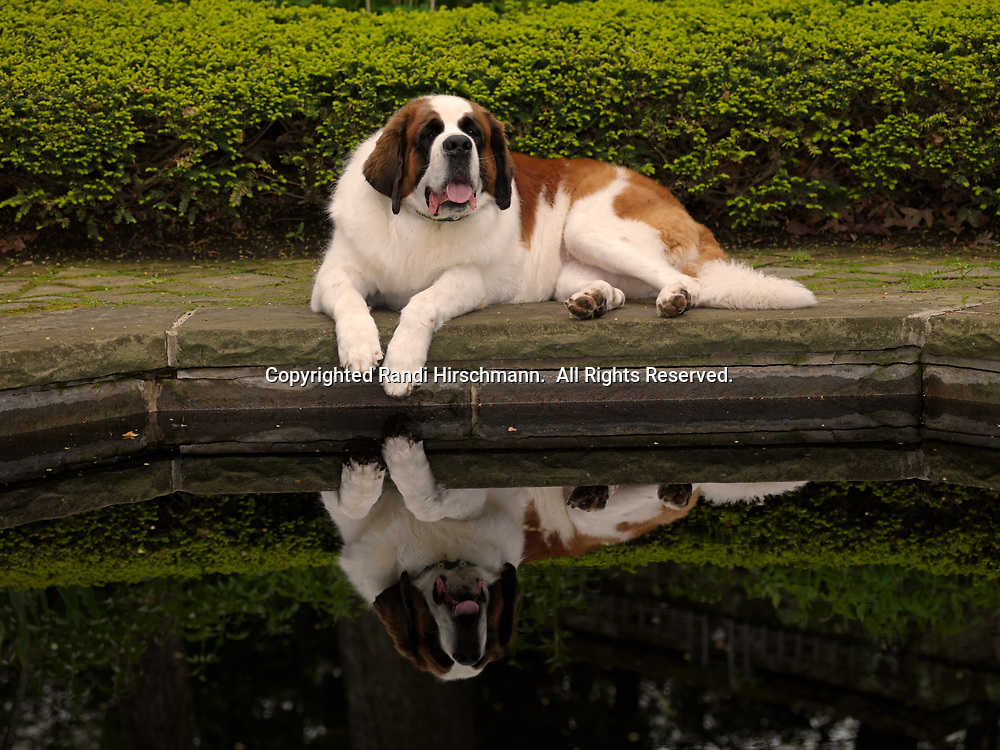"""St. Bernard, AKC, 5-year-old """"April"""" with owner Cynthia Knight of Akron, Ohio, photographed at Stan Hywet Hall & Gardens in Akron, Ohio.   (PR)"""