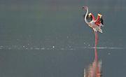 Lonely greater flamingo at Lake Bogoria, Kenya.