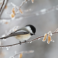 Birds - Chickadees