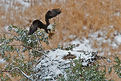 Bald Eagle landing at snowy nest with fresh nesting material for more insulation for the eaglets.