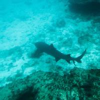 South America, Ecuador, Galapagos Islands. Snorkeling with sharks in teh Galapagos.