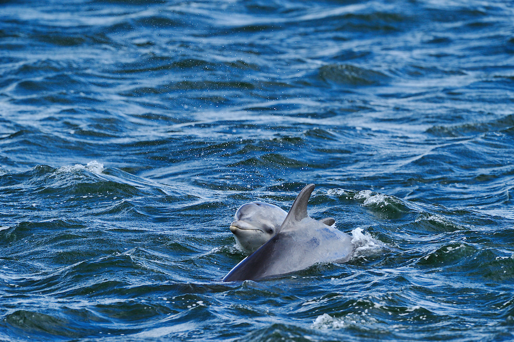 Female Bottle-nosed Dolphin with calf surfacing,<br /> Tursiops truncatus,<br /> Moray Firth, Nr Inverness, Scotland - May