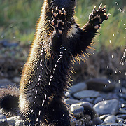 Wolverine (Gulo gulo) In the Rocky Mountains of southwest Montana.  Captive Animal