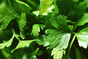 Close up selective focus photograph of a bunch of Flat Parsley