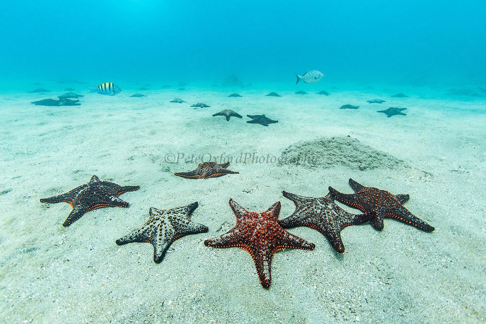Panamic cushion star (Pentaceraster cumingi)<br /> Bartolome Island<br /> Pacific Ocean<br /> Galapagos<br /> Ecuador, South America