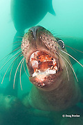 Steller's sea lions, or Steller sea lion, or northern sea lion, Eumetopias jubatus (an Endangered Species in the western part of its range, and Threatened in the eastern portion), open mouth threat display, Glacier Island, Columbia Bay, Alaska, United States of America, ( Prince William Sound )