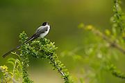 Fork-tailed Flycatcher (Tyrannus savana)<br /> Savannah<br /> Rupununi<br /> GUYANA. South America<br /> RANGE: Central Mexico to central Argentina