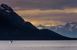 """A humpback whale engages in """"tail slapping"""" in the Sitakaday Narrows of the main bay of Glacier Bay National Park and Preserve in this view seen from Young Island located in the Beardslee Islands of the park in southeast Alaska. In the near background is Marble Mountain and in the far background is Mt. Abdallah. It is unknown why whales engage in this behavior but speculation is that it is a way to ward off other whales or the opposite, an invitation to join a group of whales."""