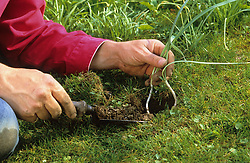 Dividing snowdrops after they have flowered -  'in the green' <br /> Replanting bulbs