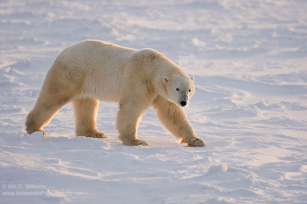 A large male polar bear patrols the edge of the Hudson Bay in search of food