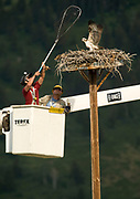 PRICE CHAMBERS / NEWS&GUIDE<br /> Craighead Beringia South biologist Bryan Bedrosian prepares to net a nestling osprey as Lower Valley Energy lineman Dave Renbarger positions a lift near the top of the nest on the southern border of Grand Teton National Park. Bedrosian fitted one of the young birds with a GPS device that will tell researchers where it migrates.