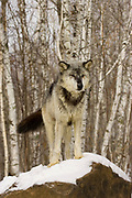 Grey Wolf, Canis lupus, Minnesota United States in snow, controlled situation