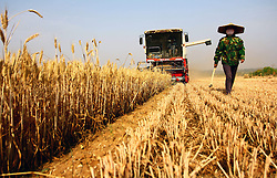 Farmers harvest wheat in the field in Zaozhuang City, east China's Shandong Province, June 6, 2015. June 6 marks the solar term of Grain in Ear and farmers here are busy with collecting ripe crops. EXPA Pictures © 2015, PhotoCredit: EXPA/ Photoshot/ Zhang Qiang<br /> <br /> *****ATTENTION - for AUT, SLO, CRO, SRB, BIH, MAZ only*****