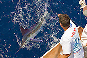 Swimming White Marlin along the side of the boat prior to being released.