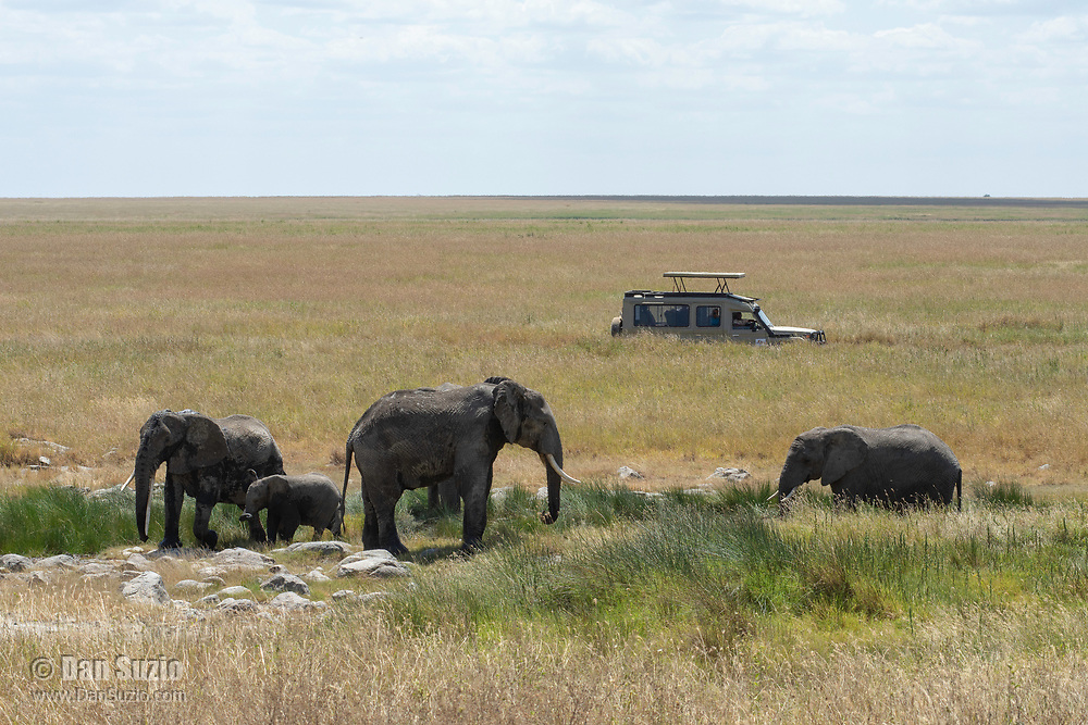 Tourists in a safari vehicle stop to watch a herd of African Elephants, Loxodonta africana, in Serengeti National Park, Tanzania