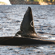 A humpback whale (Megaptera novaeangliae) calf swimming beside its mother. The calf appears to have an injury or scar on its fluke, possibly resulting from an attempted bite by a predator.