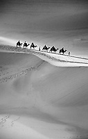 Group of camels being led across the ridge of sand dunes, Dunhuang, China.