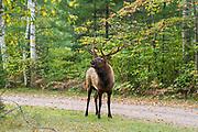 Bull elk in fall habitat in northern Wisconsin