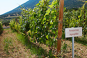 Vines. Agiorgitiko vine variety. Biblia Chora Winery, Kokkinohori, Kavala, Macedonia, Greece