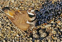 Killdeer With Nest And 4 Eggs