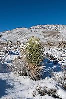 Joshua Tree in snow covered desert landscape, California