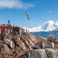 Gentoo Penguins stand in a rookery surrounding Port Lockroy Museum on tiny Goudier Island, Antarctica.  The background mountain is on Anvers Island.