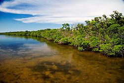 red mangroves, Rhizophora mangle, in Lake Worth, a preserved, pristine estuary, John D. MacArthur Beach State Park, North Palm Beach, Florida