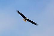 A bald eagle (Haliaeetus leucocephalus) looks back while soaring over Lake Washington near Kenmore, Washington.