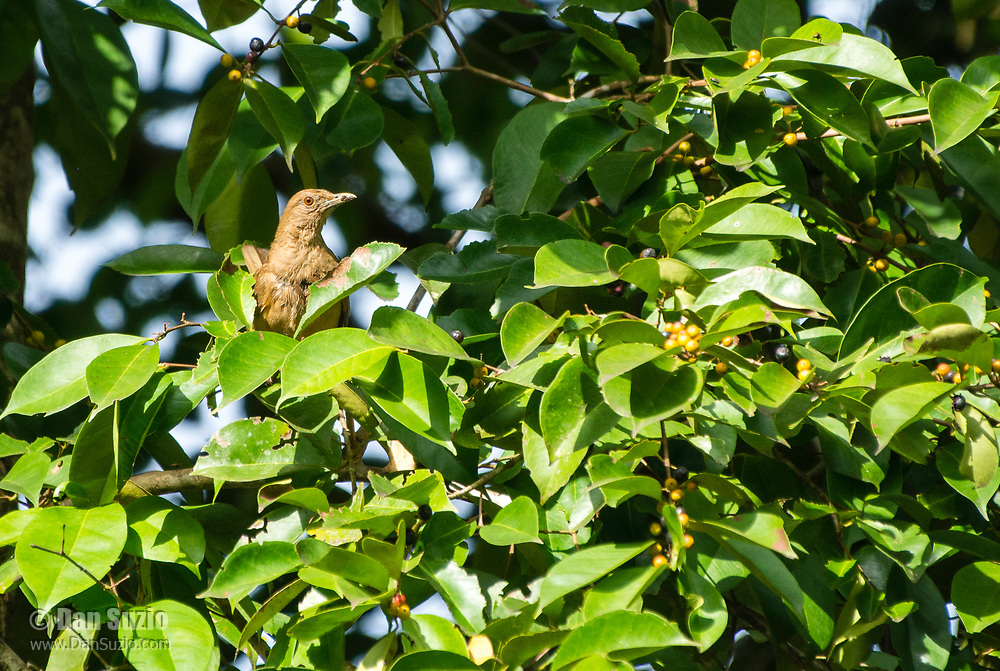 Clay-colored Thrush, Turdus grayi, the national bird of Costa Rica, perched in a tree in Tortuguero National Park, Costa Rica