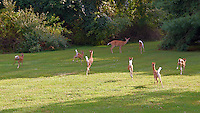 Seven Fawns Running and the Den Mother Doe in My Backyard. Summer Nature in New Jersey. Image taken with a Nikon D700 and 28-300 mm VR lens (ISO 200, 72 mm, f/5.6, 1/500 sec).