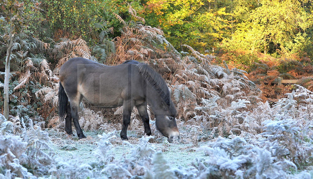 ©London News pictures...25/10/2010. Horses search for a meal amongst the frost covered bracken. A frosty autumn morning at Burnham Beeches, South Buckinghamshire on Monday 25th October 2010. The Beeches, covering 220 hectares, is primarily noted for its ancient beech and oak pollards and the range of flora and fauna associated with old trees and decaying wood.
